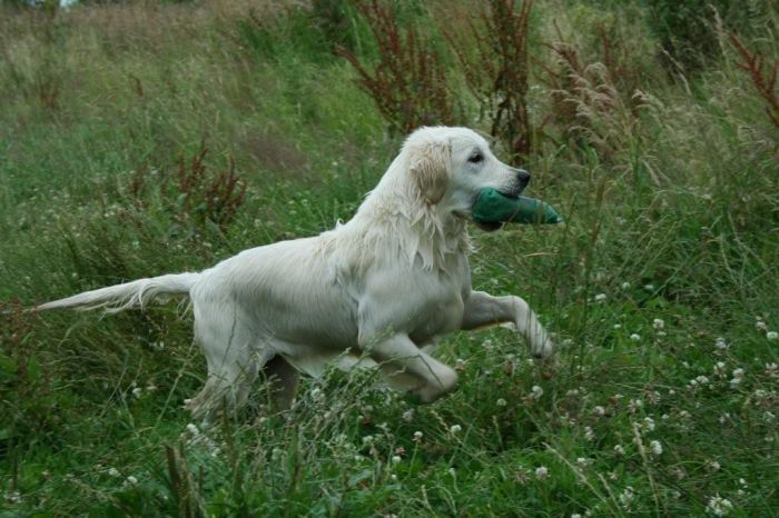 Primrose s Dream Cerise golden retriever de Louisette
