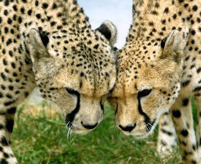 les guépards