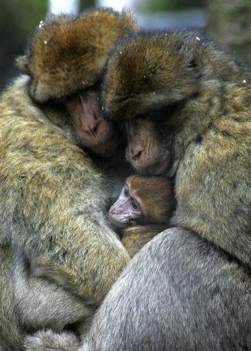 une famille de singes tro mignon