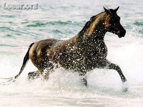 chevaux dans l'eau