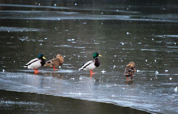 Deux couples de colvert se promènent sur la glace