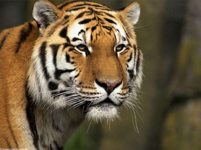 le plus beaux tigre