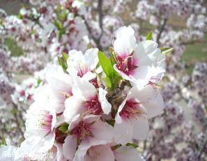 Fleurs d'amandiers,Souss-Massa-Draa