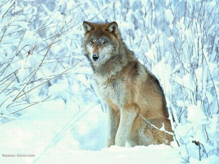 si je devrai etre animal cela sré un loup..